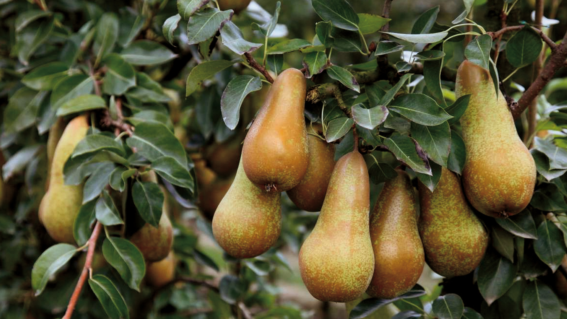 Pere coltivate con concimi naturali e biologici Grown pears with natural and organic fertilizers