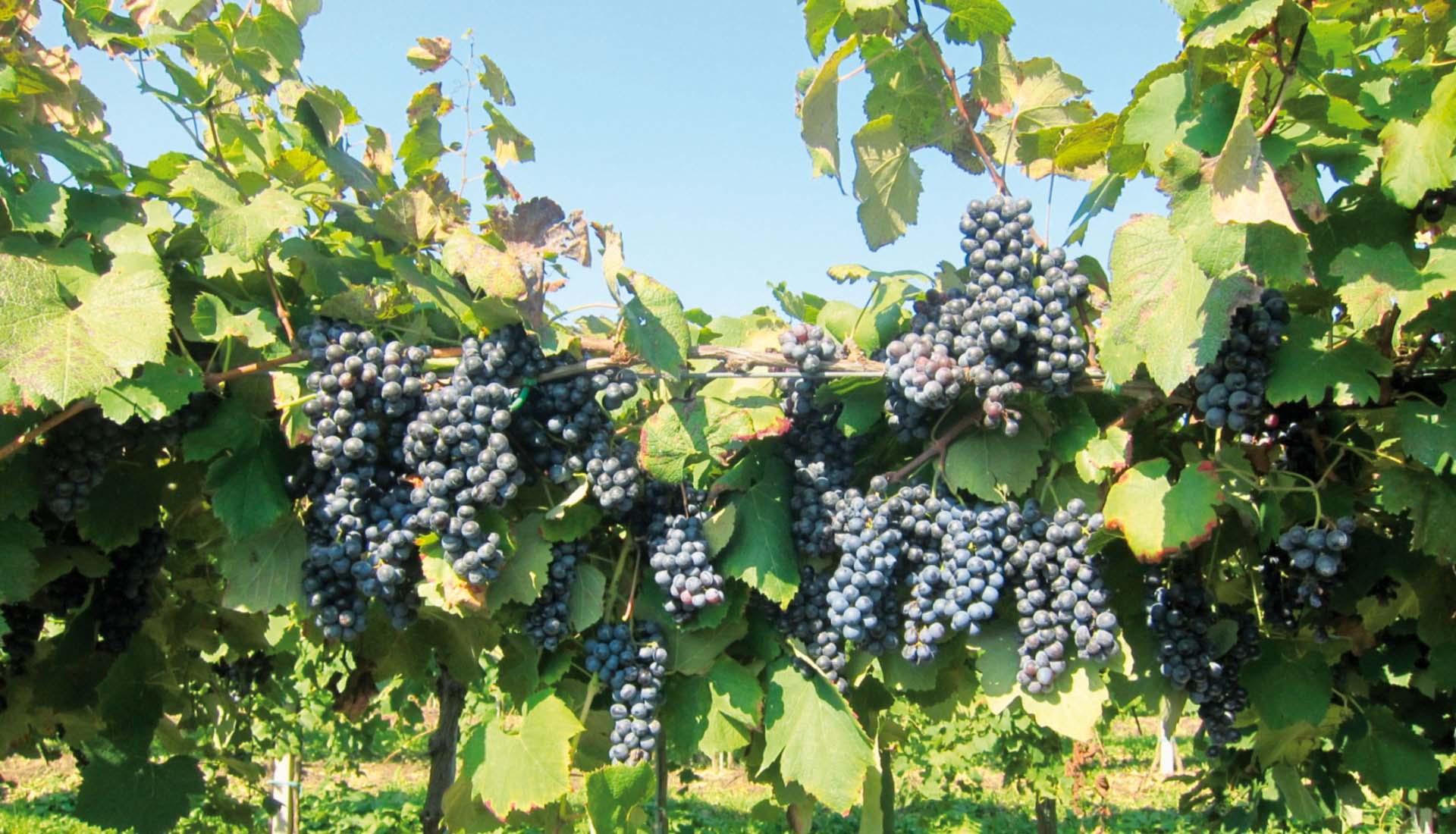 Uva trattata con concimi organici e fertilizzanti naturali